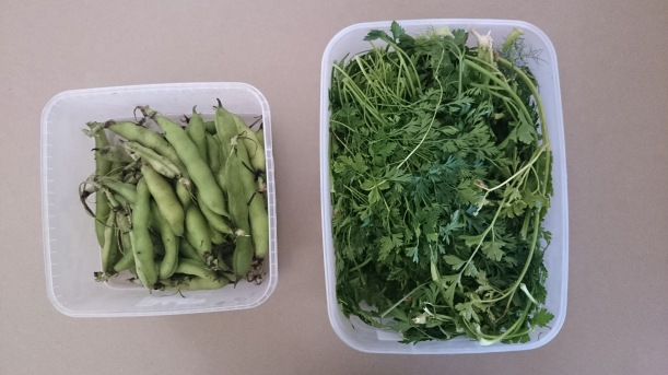 Fresh (and free) broadbeans and parsley - Om nom nom!